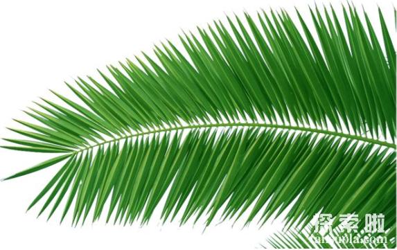 世界上最长的叶子:长叶椰子,叶子长27米,有7层楼高(图2)