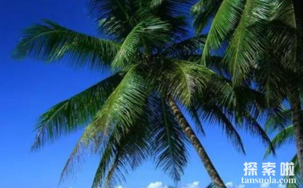 世界上最长的叶子:长叶椰子,叶子长27米,有7层楼高(图3)