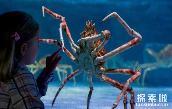 世界上最大的螃蟹:日本巨型杀人蟹,长3.66米