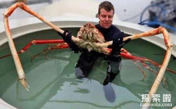 世界上最大的螃蟹:日本巨型杀人蟹,长3.66米(4)