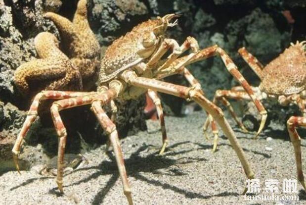 世界上最大的螃蟹:日本巨型杀人蟹,长3.66米(5)