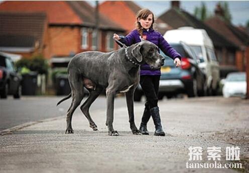世界上最大的狗:大丹狗,高2.2米,重111公斤(图4)
