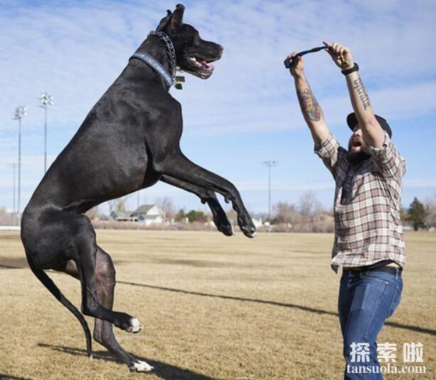 世界上最大的狗:大丹狗,高2.2米,重111公斤(图5)