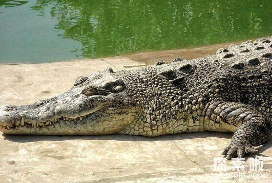 世界上最大的鳄鱼:菲律宾鳄鱼,体长6.4米,重1000公斤(图3)