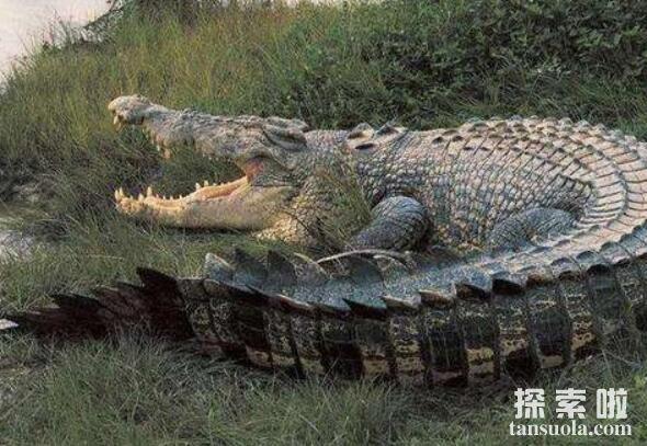 世界上最大的鳄鱼:菲律宾鳄鱼,体长6.4米,重1000公斤(图6)