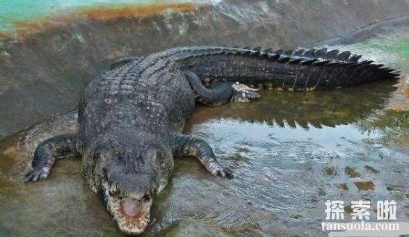 世界上最大的鳄鱼:菲律宾鳄鱼,体长6.4米,重1000公斤(图7)