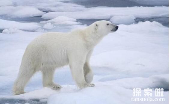 北极熊能在陆地上生活吗,北极熊适合陆地生存么