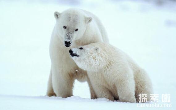 北极熊没有陆地能活吗,北极熊只能生活在冰上吗