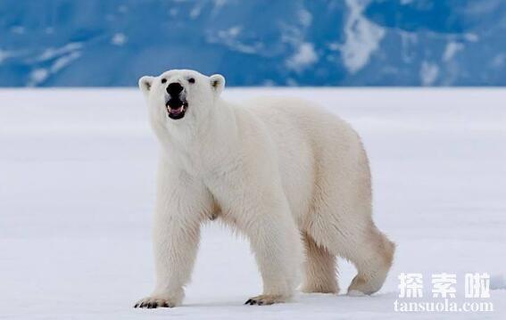 北极熊用什么来导航,大鼻子是导航利器