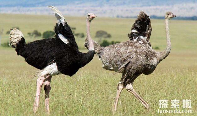 世界上最大的鸟:鸵鸟,身高2.75米,有翅膀但不会飞