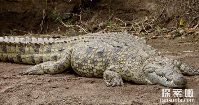 世界上最大的鳄鱼:湾鳄,最长7米以上