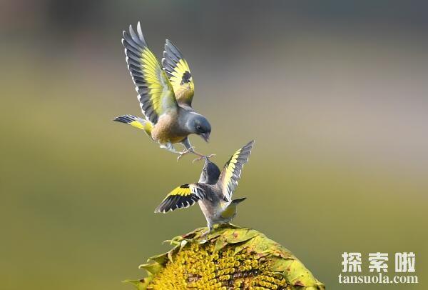 世界上最小的鸟排名,蜂鸟最轻仅2克,阔嘴鸟排第二