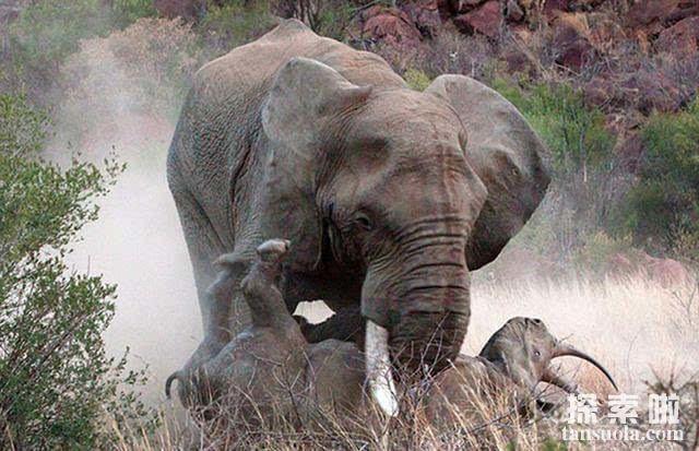 陆地上最重的动物:非洲象,体重13.5吨,9辆汽车的重量