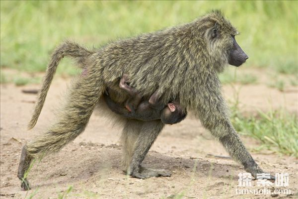 世界上最大的狒狒:西非狒狒,体重59KG,身长90CM