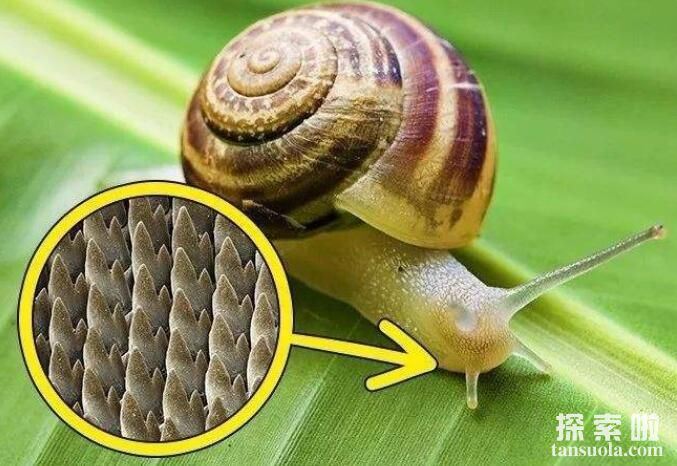 世界上牙齿最多的动物:蜗牛