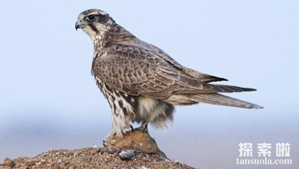 世界上最昂贵的十种鸟排名,猎隼最贵价值100万美元排第一