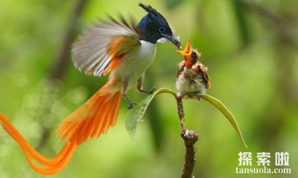 最像凤凰的五种鸟排名,孔雀和凤凰最相似排名第一