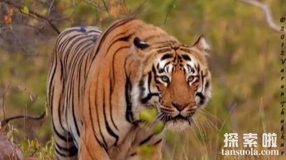 世界上最大的猫科动物:东北亚巨虎,体长4米,重约800公斤