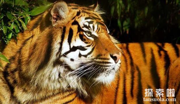 世界上最大的老虎:西伯利亚虎,体长3米,体重350公斤