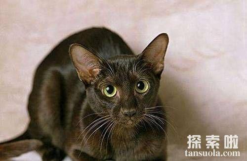 世界上智商最高的猫:哈瓦那猫,瞬间就能记住自己名字