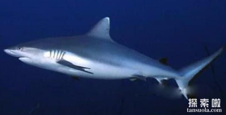 世界上最危险的鲨鱼:公牛真鲨,体长2米,性情凶猛