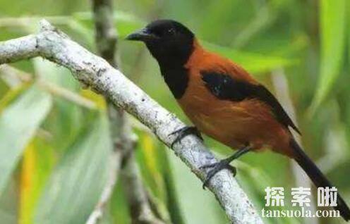 世界上最毒的鸟排名,黑头林鵙鹟毒性最强排名第一