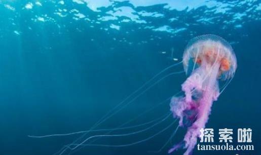 世界上最小的水母:伊鲁坎吉水母,小指甲盖大小,外号隐形海妖