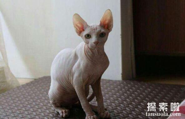 世界上最丑的猫:斯芬克斯猫,很丑但很温柔的猫