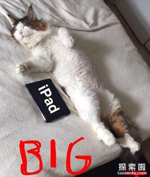 世界上最大的猫:纽约巨猫Samson,体长1.22米(巨型大猫)