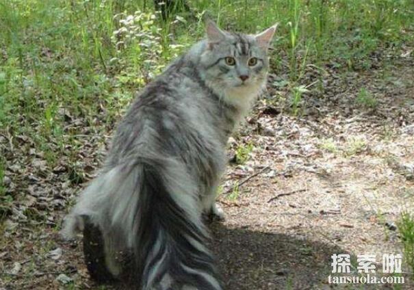 世界上体型最大的猫品种,乌克兰巨猫Angie(体重726斤)