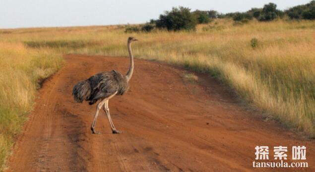 世界上现存最大的鸟:鸵鸟,身高2.5米,体重150千克