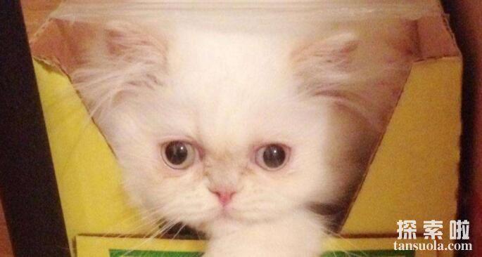 世界上毛最长的猫:小猫Sophie Smith,毛长25.68厘米