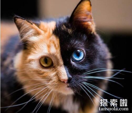 世界上最罕见的猫:双面猫,半黑半花的合体猫(患有异色症)