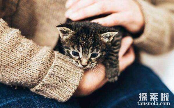世界上最小的猫:皮堡斯,身长仅3寸,基因不好体格小