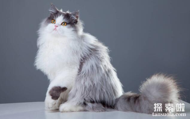 世界上最漂亮的十种猫排行,波斯猫排名第一(猫中王子)