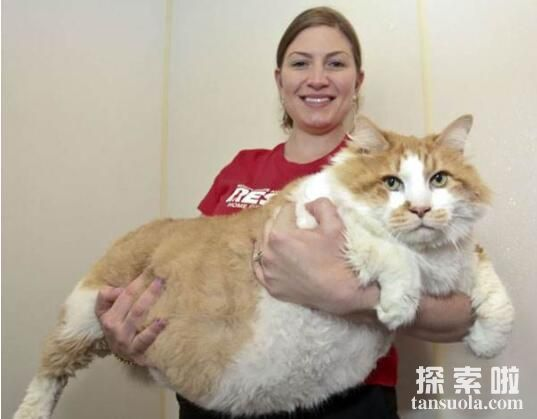 世界上最肥的猫:凯蒂,体重46斤,胖成了大肉球