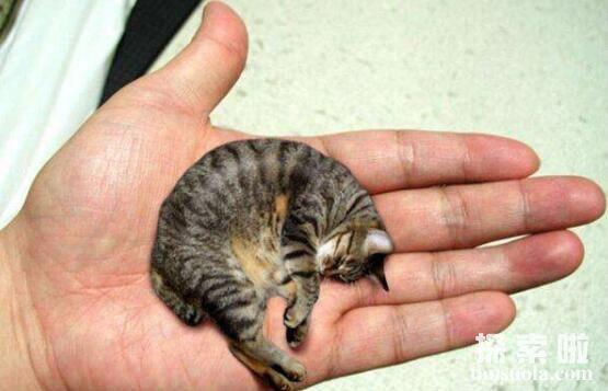 世界上最小的猫种:新加坡猫,比茶杯猫小不少