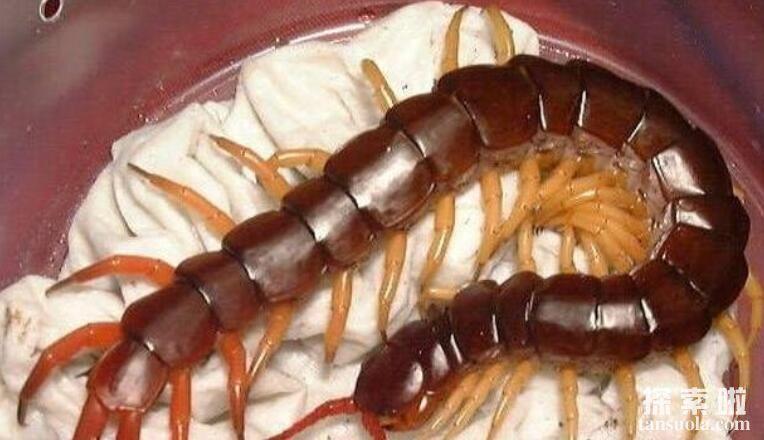 世界第二大蜈蚣:秘鲁巨人蜈蚣,体长42厘米,爱吃蝙蝠的大蜈蚣