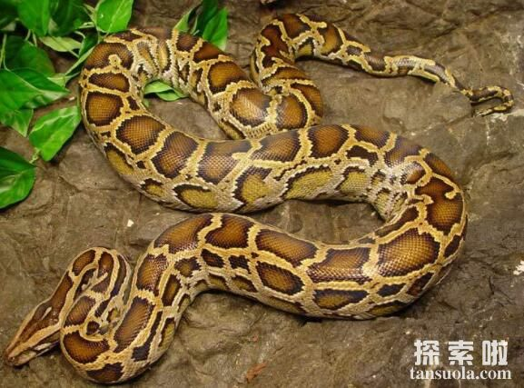 最让人不敢靠近的10种动物,缅甸蟒蛇比鳄鱼还恐怖