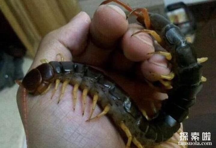 世界上最大的蜈蚣:加拉帕格斯巨人蜈蚣,体长0.62米(大到吓人)