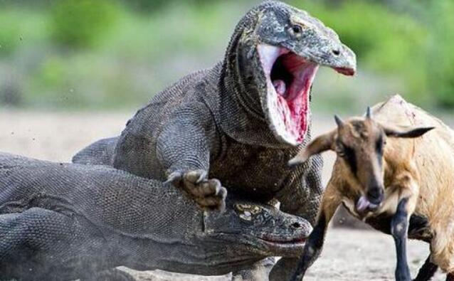 世界上最毒的蜥蜴:科莫多巨蜥,含剧毒吃同类幼体