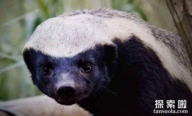 平头哥蜜獾吃什么,遇到天敌的蜜獾处理方式很特别