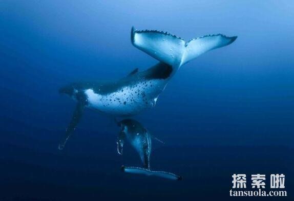 世界上最大的鲸鱼:蓝鲸,体长33米(11楼高),体重181吨