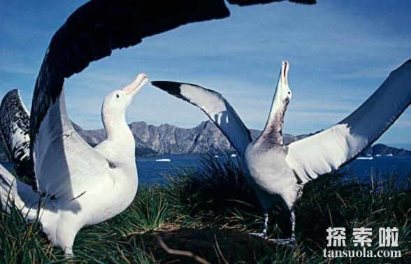 世界上翅膀最长的鸟:漂泊信天翁,翅膀长3.7米(翅膀最长/体型最大)