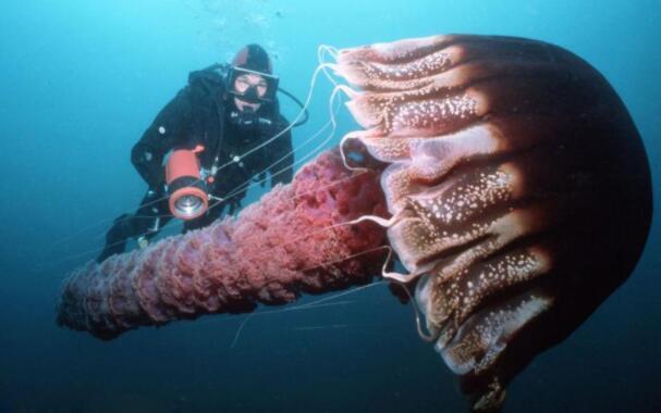 世界最大水母:北极霞水母,触手间长度达到74米