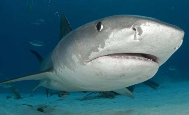 世界上最可怕的三大鲨鱼,凶猛的大白鲨榜上有名排第一