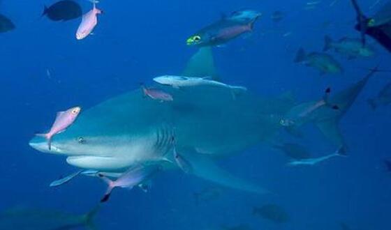 爆发力超强的危险鲨鱼:公牛真鲨,唯一深入淡水生活的鲨鱼