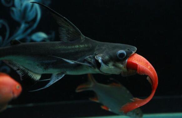 成吉思汗鲨不是鲨鱼,是一种濒危的观赏鱼类