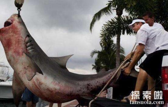 世界上最好斗的鲨鱼:牛鲨,会主动攻击人类的可怕鲨鱼