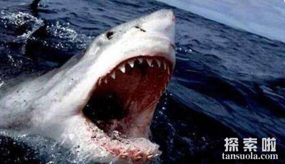 世界上最危险的鲨鱼:噬人鲨,攻击人类和船只(无处可逃)